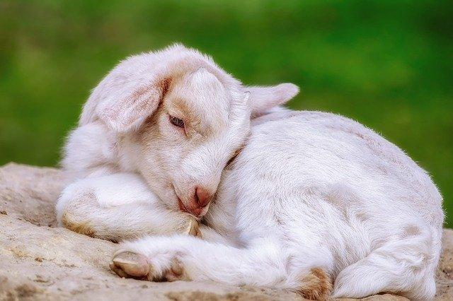 horóscopo chino cabra