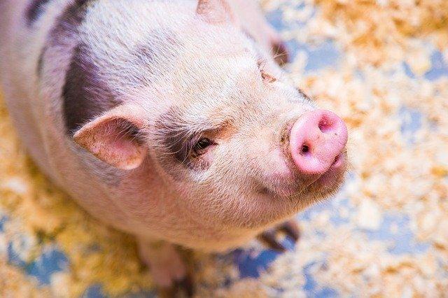 el año del horóscopo chino cerdo
