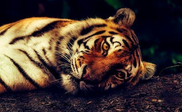 el año del horóscopo chino tigre